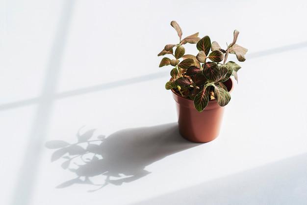 Nerve fittonia verschaffeltii on pot, planthigh key light of pink fittonia nerve plant in brown pot.