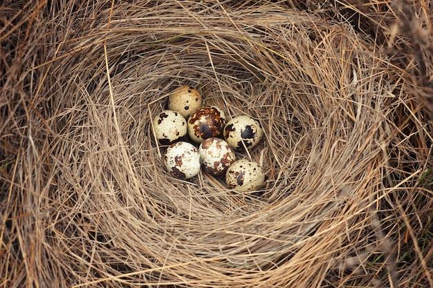 Nest with quail eggs.