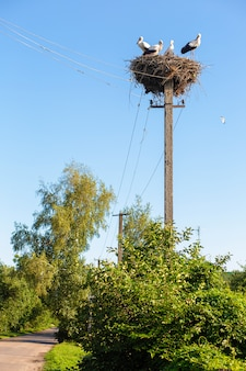 A nest with storks on a pole of a power line in a village.