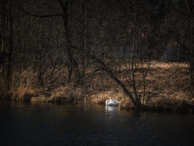湖で白鳥の営巣