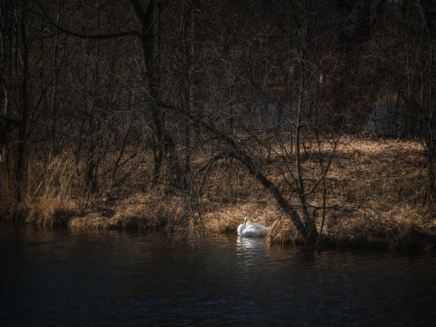 Nesting of swans on the lake