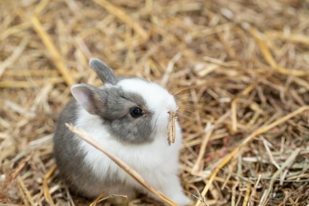 네덜란드 드워프 토끼는 가장 작은 토끼 품종 중 하나입니다.