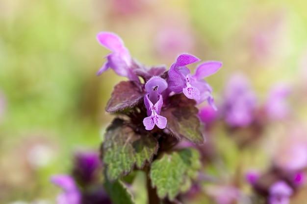 Цветение крапивы в весенний сезон