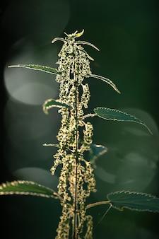 Росток крапивы с семенами на темном фоне. выборочный фокус.
