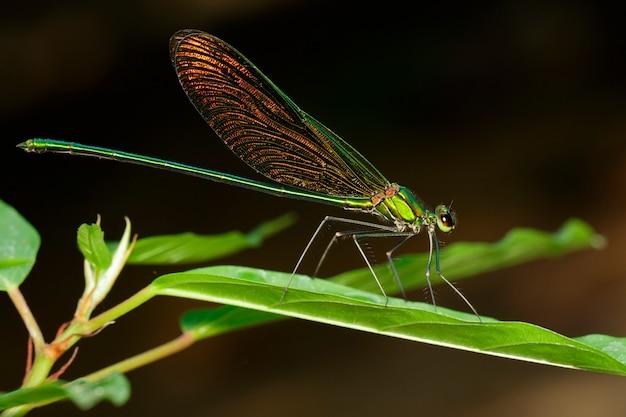 緑の葉のneurobasis chinensis