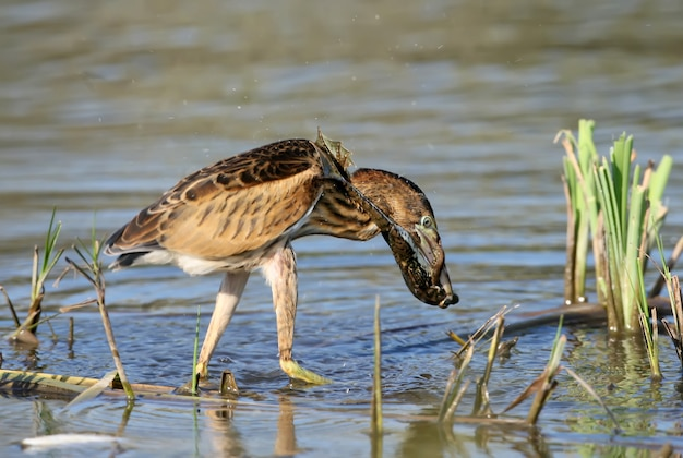 Never give up! young little bittern hunting on the reed with frog in beak.