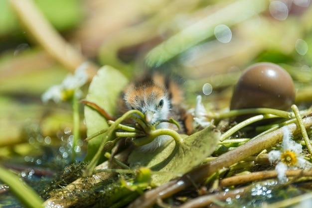Новорожденная птица, hydrophasianus chirurgus, фазан-хвостовая якана