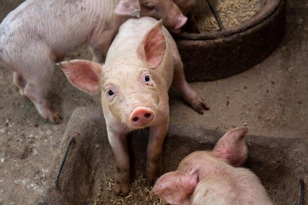 Новорожденная свинья или симпатичная на ферме.