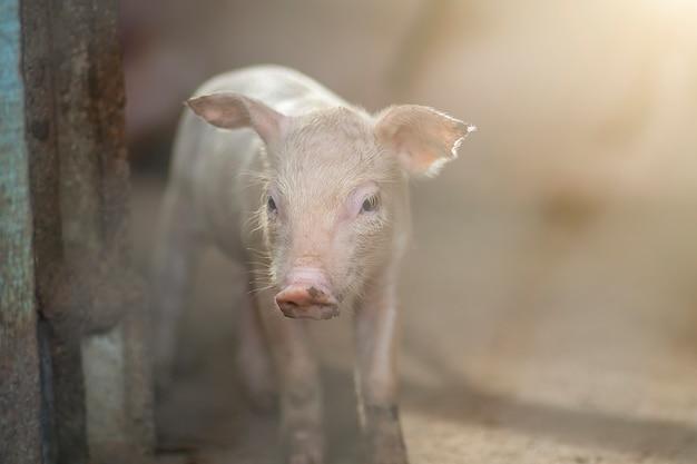 新しい生まれの豚かかわいい