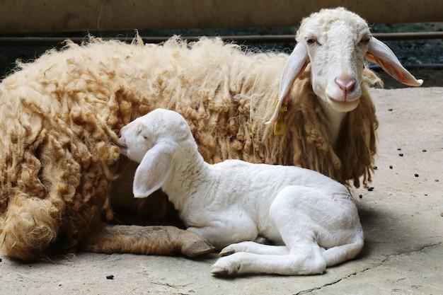 New born sheep