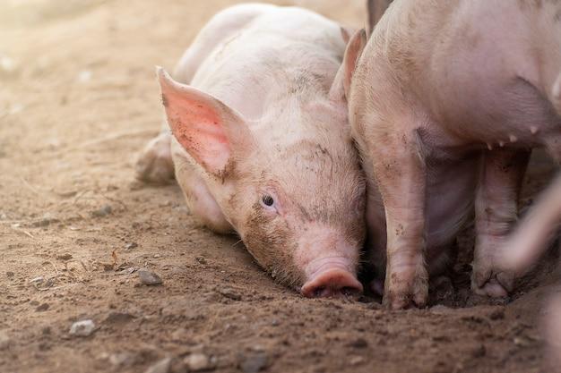 新しいブロン2匹の子豚。
