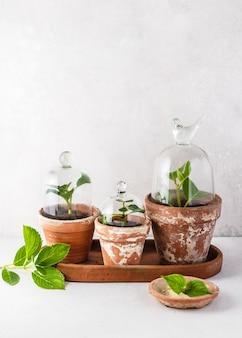 ガラスのクローチまたはベルが付いている古いテラコッタの鉢に新しい挿し木アジサイ植物