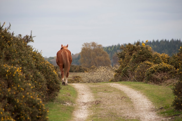 New forest pony roaming free in the national park