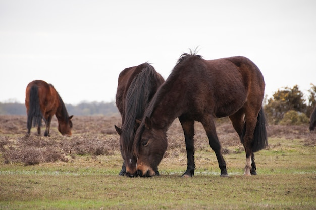New forst ponies graziing