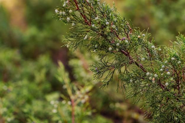 Новые свежие ветки вечнозеленого можжевельника в саду