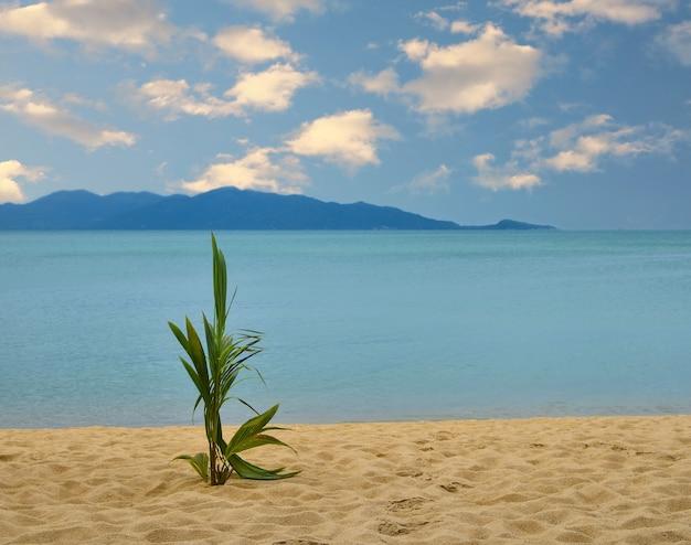 푸른 바다 위에 모래 해변에서 자라는 새로운 녹색 신선한 코코넛 야자 나무 새싹 촬영