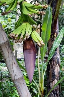 Новая растущая банановая гроздь с молодыми бананами в саду с бамбуковой опорой
