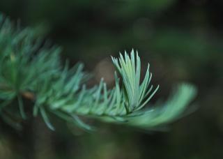 New growth pine