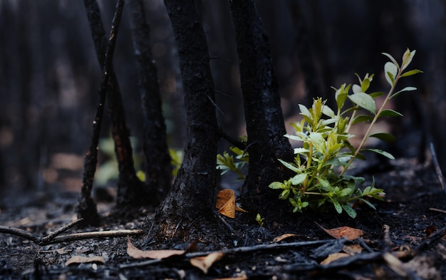 New leaves grown after forest was burn. rebirth of nature after the fire. global warming/ecology concept.