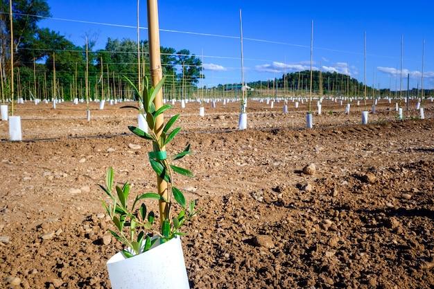 비옥한 땅에 혁신적인 물방울 관개 시스템으로 과일 나무를 새로 심습니다.