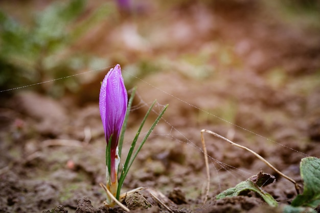 収穫時の開花中の畑に新しい紫色のサフランの花