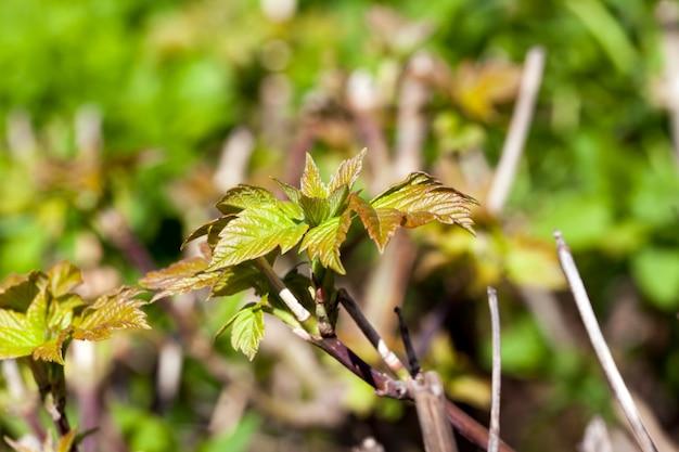 春の温暖化の間に新しい発芽した芽と低木の葉