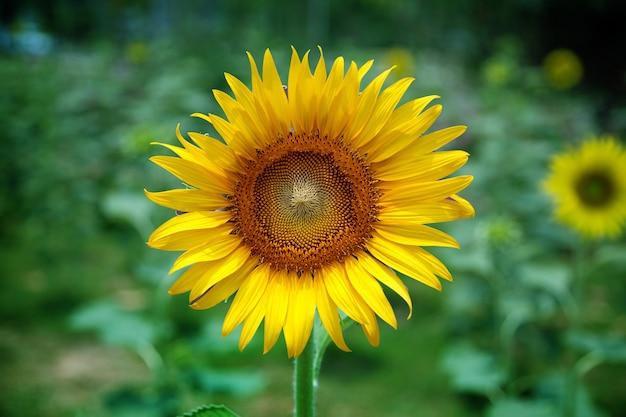 Новые подсолнухи на поле в солнечный день. концепция природы и сельского хозяйства