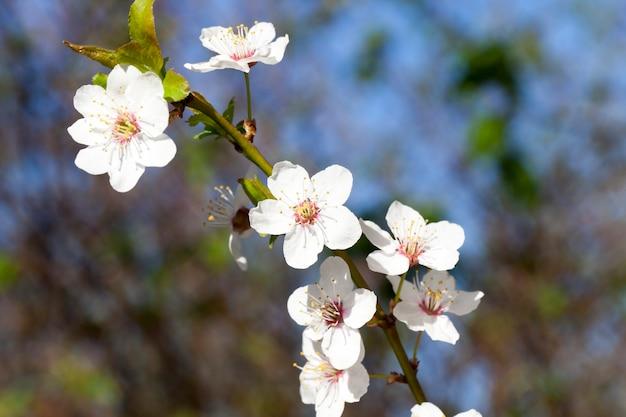 Новые белые лепестки на ветвях дерева весной, крупным планом