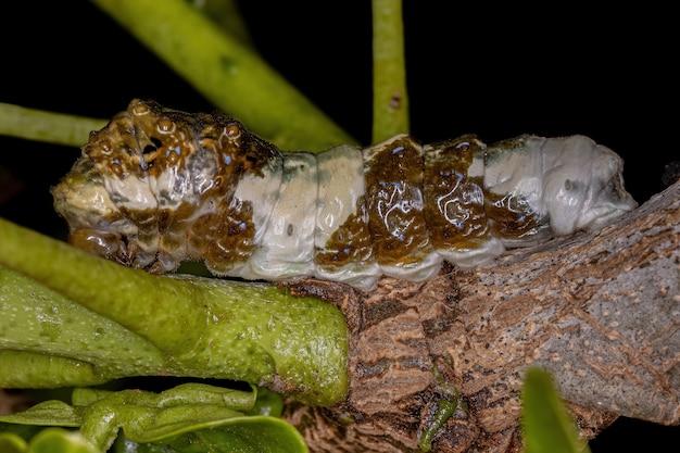 鳥の糞に似たカモフラージュをするヘラクレイデス亜属の新世界オオタスキアゲハチョウ