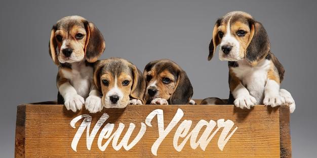 2020년 새해. 비글 삼색 강아지들이 포즈를 취하고 있습니다. 회색 배경에서 노는 귀여운 흰색-갈색-검정색 강아지나 애완동물. 주의를 기울이고 장난스럽게 보세요. 스튜디오 사진입니다. 모션, 움직임, 동작의 개념입니다.