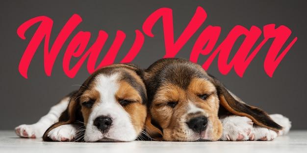 2020년 새해. 비글 삼색 강아지들이 포즈를 취하고 있습니다. 회색 배경에서 노는 귀여운 흰색-갈색-검정색 강아지나 애완동물. 주의를 기울이고 장난스럽게 보세요. 스튜디오 사진입니다. 모션, 움직임, 행동의 개념입니다.