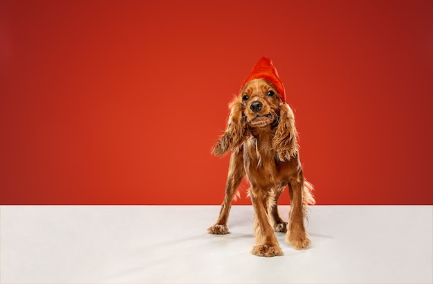 新年の贈り物。イングリッシュコッカースパニエルの若い犬がポーズをとっています。