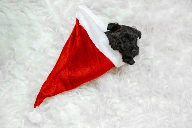 New year's gift. scottish terrier puppy in santa's cap. cute black doggy or pet playing with christmas decoration. looks cute. studio photoshot. concept of holidays, festive time, winter mood.