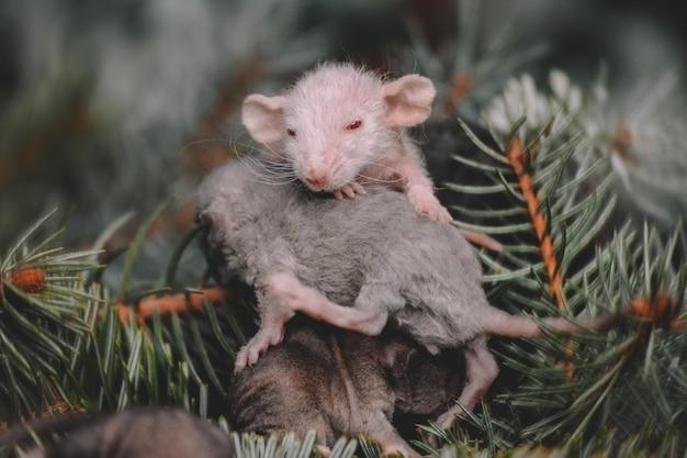 Новогоднее фото маленьких пышных крыс