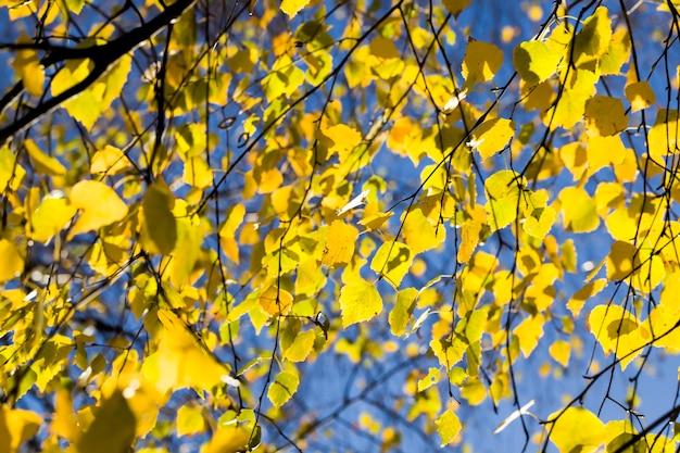 Новый желтый цвет березовых листьев в осеннем городском парке, красивая осенняя природа днем, солнышко осенняя береза освещает