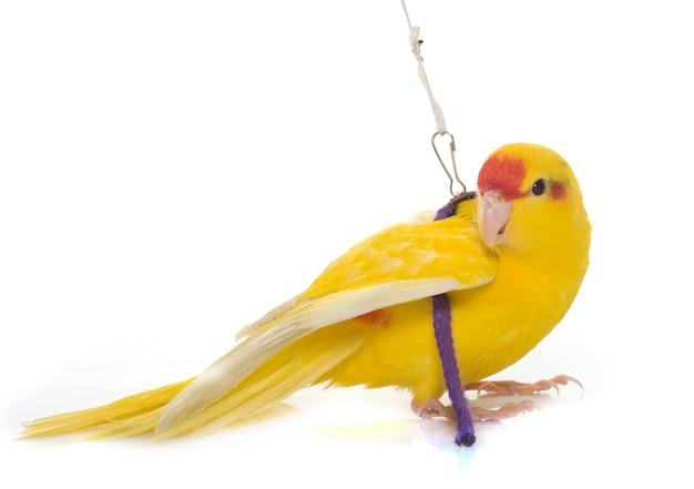 New zealand parakeets