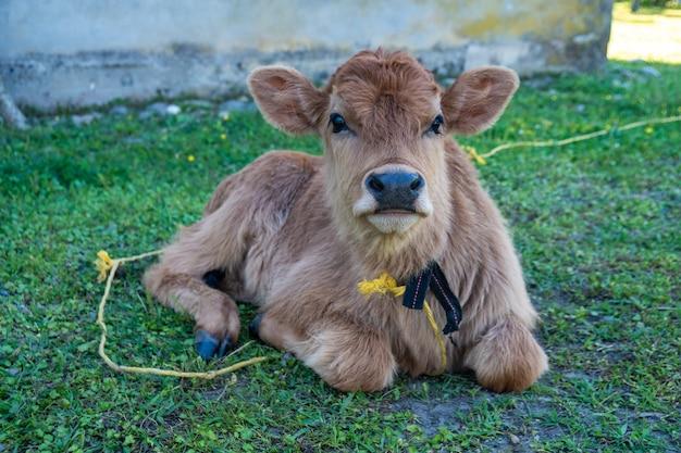 Новорожденный теленок, лежащий на лугу возле сельского дома, животное