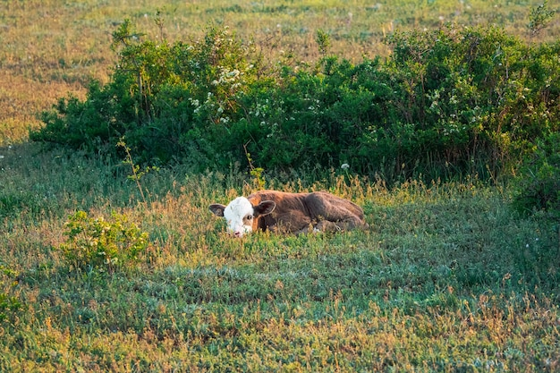 Newborn calf in the morning meadow. brown calf with a white face hid in the grass.