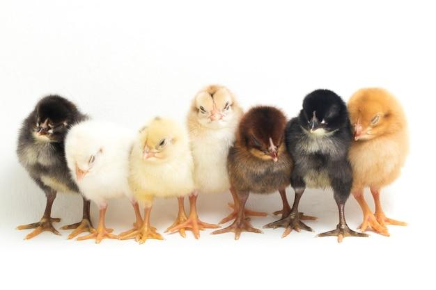 Newborn chicks on white background