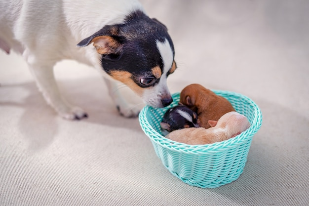 Newborn chihuahua puppies lying in a basket, mom is looking at them