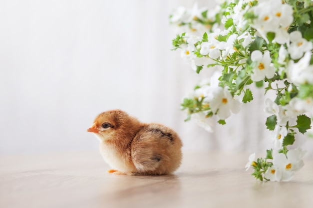 Newborn fluffy fledgling chicken against white flowers. symbol of spring, holiday, easter, congratulations.