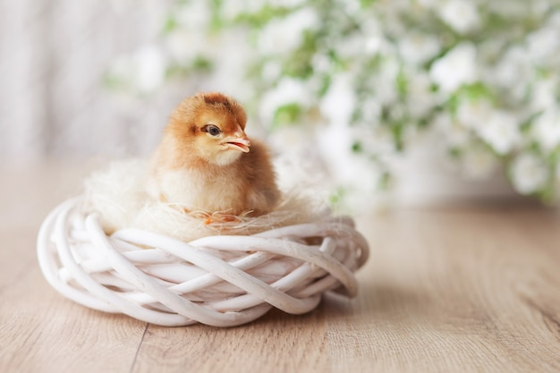 Newborn fluffy fledgling chicken in small nest against white flowers. symbol of spring, holiday, easter, congratulations.