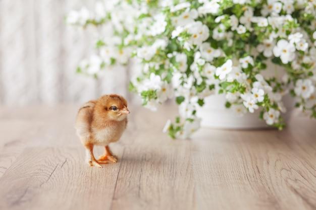 Новорожденный пушистый молодой цыпленок