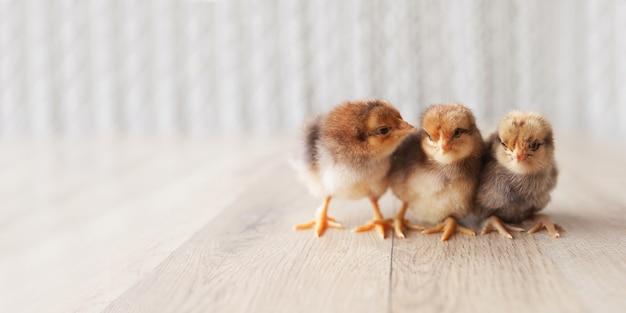 Newborn fluffy fledgling chickens on wooden floor