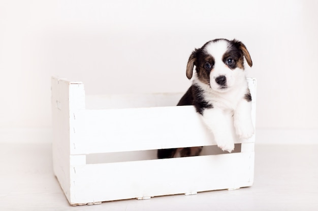Newborn flyffy brown cardigan puppy in a wooden box isolated