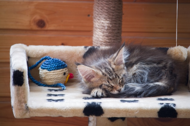 Newborn kitten maine coon is sleeping on the second tier of the house next to the colored toy