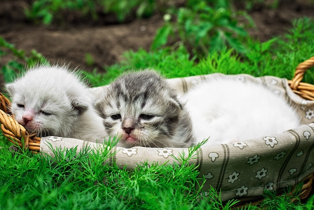 Newborn kittens in the basket on the nature.