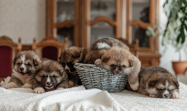 Newborn little fluffy puppies are resting near the basket.