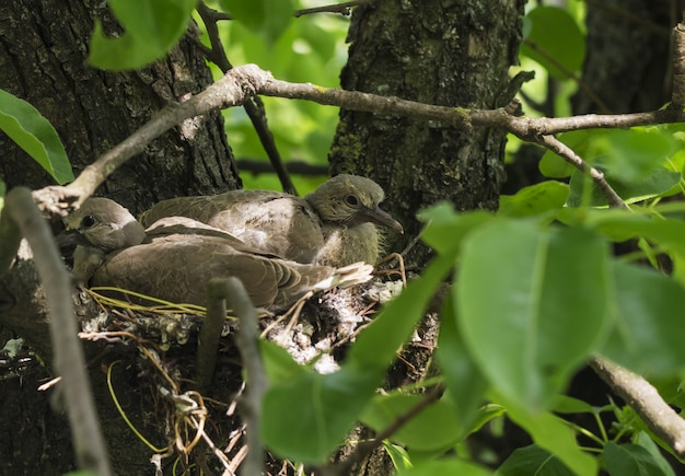 Newborn pigeons are sitting in the nest  and waiting for mom to get food