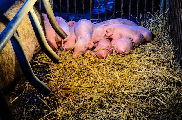 Новорожденные свиньи спят вместе на соломе рядом с его матерью ночью под светом, который обеспечивает тепло на сельской ферме в таиланде.